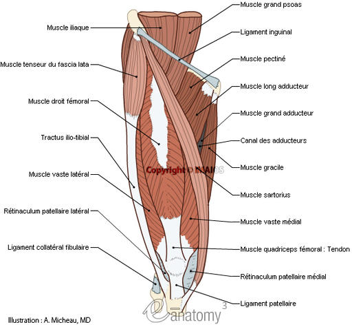 Gros oeuvre - Cocada ^-^ Muscles-of-thigh-anatomy-atlas-muscular-leg-anatomical-picture-en_medical512