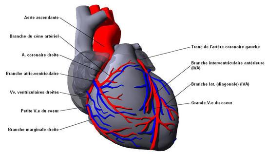 Schema artere coronaire coeur