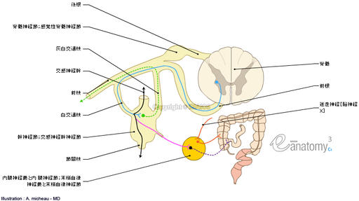 Autonomic division of nervous system; Autonomic part of peripheral nervous system - Schematic : Ganglion of sympathetic trunk,  Interganglionic branches,  Rami communicantes,  Grey ramus communicans,  White ramus communicans,  Intermediate ganglia, Sympathetic trunk, Peripheral autonomic plexuses and ganglia, Spinal nerve, Anatomy