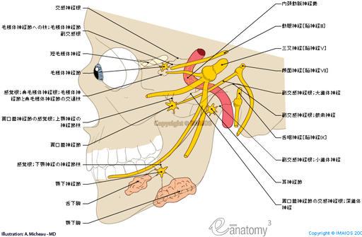 Cranial nerves : Parasympathetic part / Sympathetic part - Anatomy/Illustrations : Ciliary ganglion, Otic ganglion, Pterygopalatine ganglion,  Sublingual ganglion,  Submandibular ganglion, Sympathetic root of ciliary ganglion, Branch to ciliary ganglion; Parasympathetic root of ciliary ganglion; Oculomotor root of ciliary ganglion, Sensory root of pterygopalatine ganglion; Ganglionic branches of maxillary nerve to pteygopalatine ganglion, Sensory root of submandibular ganglion; Ganglionic branches to submandibular ganglion, Parasympathetic root of pterygopalatine ganglion; Greater petrosal nerve, Sympathetic root of ptertygopalatine ganglion; Deep petrosal nerve, Parasympathetic root of otic ganglion; Lesser petrosal nerve