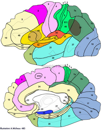 Neuroanatomy : Brodmann areas, Broca's area, Wernicke's area, Area 17 - Primary visual cortex (V1), Area 1 - Primary Somatosensory Cortex, Area 4 - Primary Motor Cortex, Area 41 - Primary and Auditory Association Cortex, Area 6 - Premotor cortex