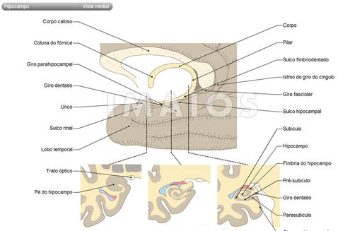 Hippocampus : Cingulate gyrus, Isthmus of cingulate gyrus, Fasciolar gyrus, Parahippocampal gyrus, Uncus, Hippocampal sulcus, Dentate gyrus, Fimbriodentate sulcus, Fimbria of hippocampus, Rhinal sulcus, Parasubiculum, Presubiculum, Subiculum, Hippocampus proper; Ammon s horn