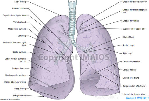 Lungs - Gross anatomy : Illustrations: A. Micheau - MD - Imaios