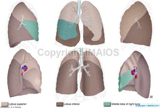 Lungenpforte - Radix pulmonis - Lobus superior - Lungenzüngelchen - Middle lobe of right lung - Lobus inferior