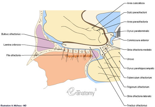 Olfactory nerve [I] - Anatomy (Anatomical illustrations) : Olfactory nerves, Olfactory bulb, Subcallosal area; Subcallosal gyrus, Paraolfactory sulci, Paraolfactory area, Paraterminal gyrus, Olfactory tract, Medial stria, Olfactory trigone,  Olfactory tubercle ,Lateral stria