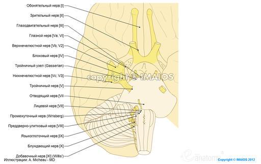 Черепные нервы - Анатомия