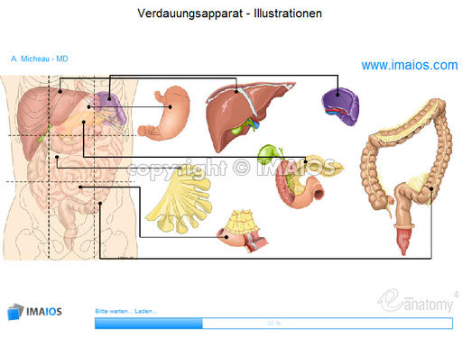 Abdomen and digestive system: anatomical illustrations - Anatomy atlas
