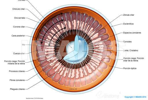 Registro de Poder - Página 2 Ciliary-body-ring-ora-serrata_medical512
