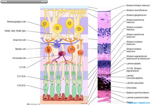 Retina-Histology: Rod cell, Cone cell, Retinal ganglion cell, Müller cells; Muller glia, Amacrine cell, Bipolar cell, Horizontal cell