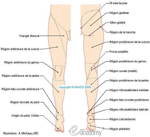 Schema systeme veineux jambes