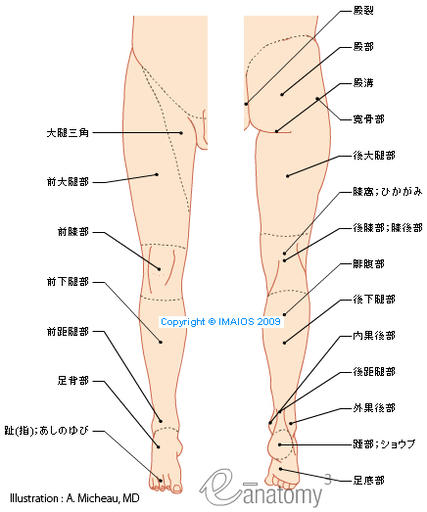 Regions of lower limb - Illustrations: A. Micheau - MD - E-anatomy, Imaios : Gluteal region, Intergluteal cleft; Natal cleft, Gluteal fold, Hip region, Femoral region, Anterior region of thigh, Femoral triangle, Posterior region of thigh, Knee region, Anterior region of knee, Posterior region of knee, Popliteal fossa, Leg region, Anterior region of leg, Posterior region of leg, Sural region, Anterior talocrural region; Anterior ankle region, Posterior talocrural region; Posterior ankle region, Lateral retromalleolar region, Medial retromalleolar region, Foot region, Heel region, Dorsum of foot; Dorsal region of foot, Sole; Plantar region, Ankle region, Metatarsal region, Digits of foot; Toes