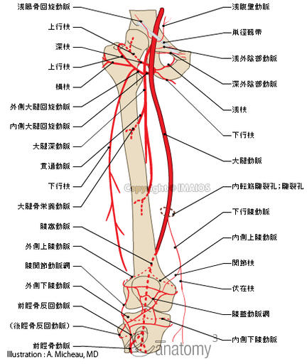 Arteries of lower limb - Thigh - Human anatomy : Femoral artery, Deep artery of thigh, Popliteal artery, Anterior tibial artery, Posterior tibial artery, Fibular artery, Adductor hiatus, Lateral circumflex femoral artery