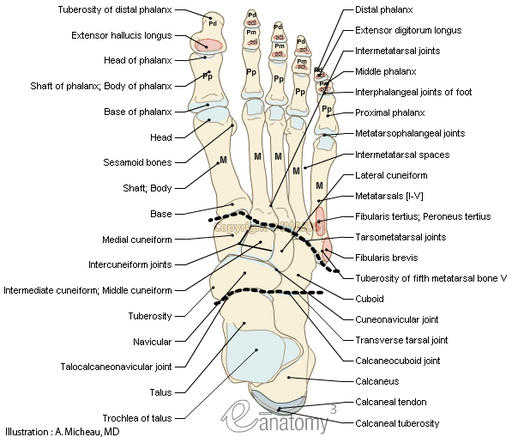 Dorsum of foot - Anatomy : Bones; Skeletal system, Joints of foot, Muscles Attachment, Tarsal bones,  Talus, Calcaneus, Navicular, Medial cuneiform,  Intermediate cuneiform; Middle cuneiform,  Lateral cuneiform,  Cuboid, Metatarsals [I-V], Phalanges, Sesamoid bones, Subtalar joint; Talocalcaneal joint, Transverse tarsal joint,  Talocalcaneonavicular joint, Calcaneocuboid joint,  Cuneonavicular joint, Intercuneiform joints, Tarsometatarsal joints, Interphalangeal joints of foot