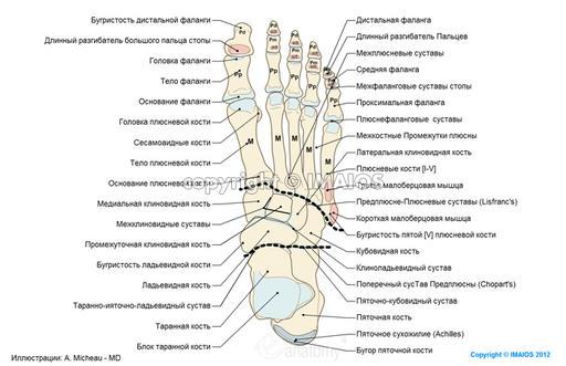 Тыл стопы - Анатомия : Кости;