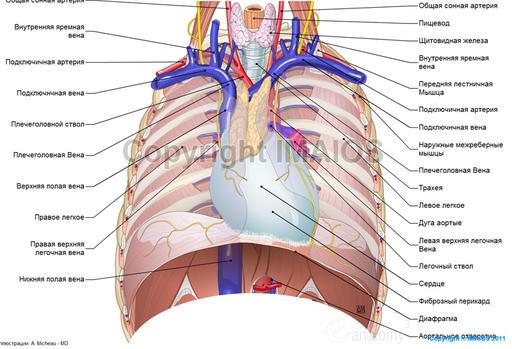 Средостение и грудная клетка: