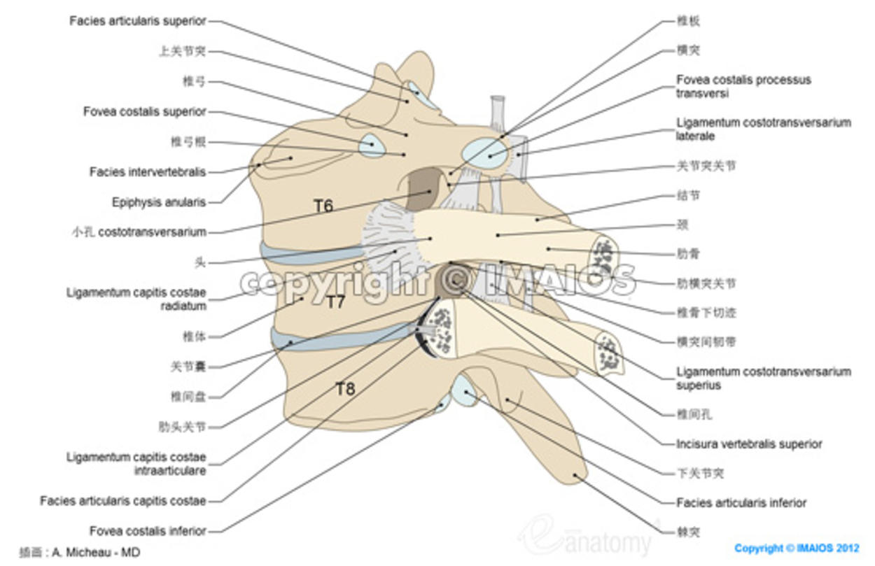 costovertebral joints anatomy, vetebral column, radiate ligament of rib, superior transverse ligament, anatomycal, diagram, illustration , A. Micheau - MD
