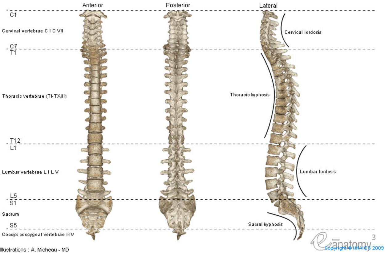 Anatomy of the vertebral column with cervical lordosis, thoracic kyphosis, lumbar lordosis and sacral kyphosis