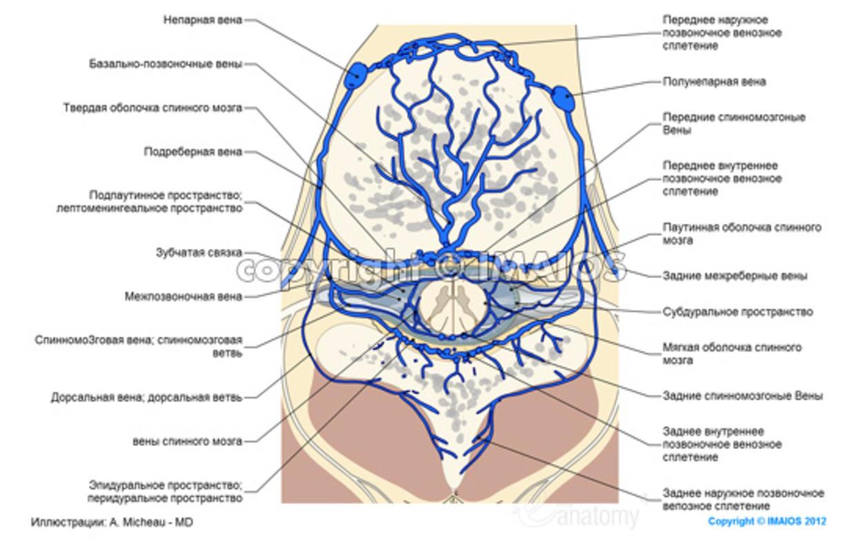 Анатомия - Схема : Спинной