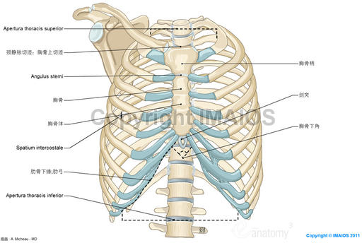 Anatomy of the thoracic wall and the breast (Illustrations) : Thoracic cage - Thoracic cavity