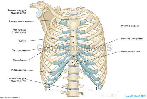 Анатомия грудной стенки и
