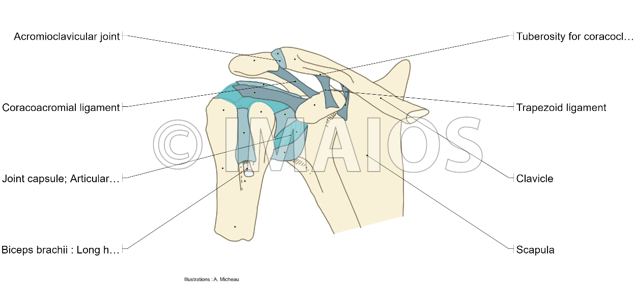 Glenohumeral joint; Shoulder joint - Shoulder - Human anatomy : Acromioclavicular joint, Coracoacromial ligament, Glenohumeral ligaments, Coracohumeral ligament, Transverse humeral ligament, Trapezoid ligament, Conoid ligament